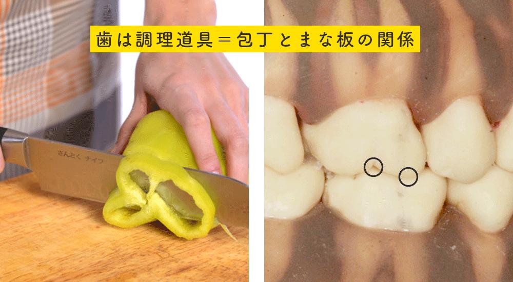 上の歯が包丁、下の歯がまな板のような役割。上下の歯の山と谷の部分が接触して、食べ物を調理しているイメージ。