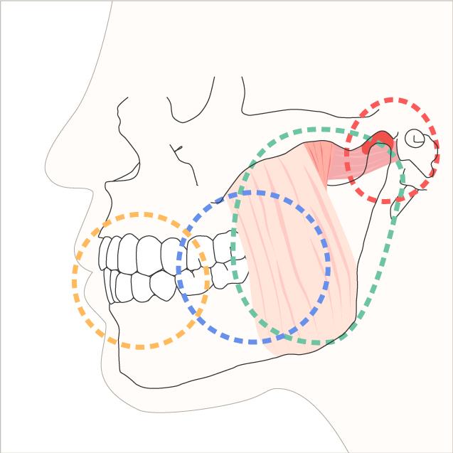 咀嚼系の図